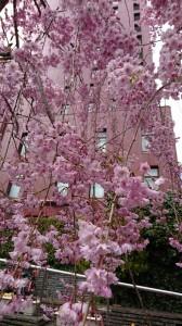 DSC_0731桜2