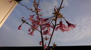 DSC_0724桜1